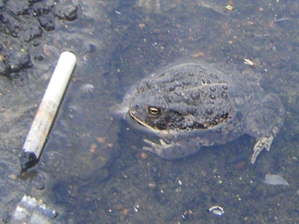 Frosch mit Zigarettenkippe